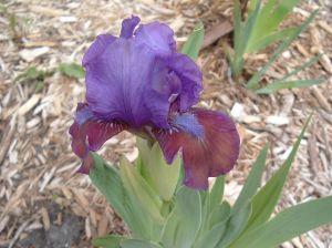 Median Iris